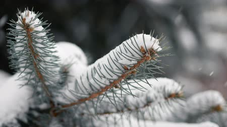 stabilizátor : Fir branch swaying in the wind during a snowstorm. Close up Stock mozgókép