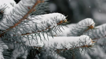 stabilizátor : Dolly shot of snow-covered spruce branches during a snowfall