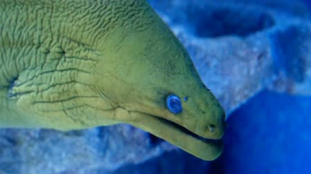 уродливый : Green moray eel also known as gymnothorax funebris with blue eyes Стоковые видеозаписи