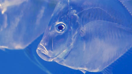 perui : Close-up of atlantic moonfish also known as selene setapinnis