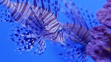 indo pacific ocean : Two indian lionfishes also known as devil firefish near the corals. Close up