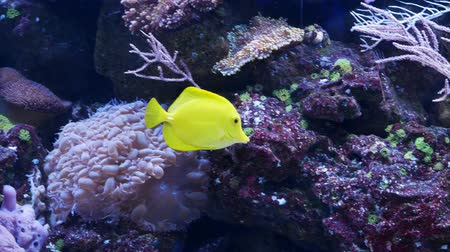 algi : A yellow tang fish also known as zebrasoma swims among the corrals and is looking for food
