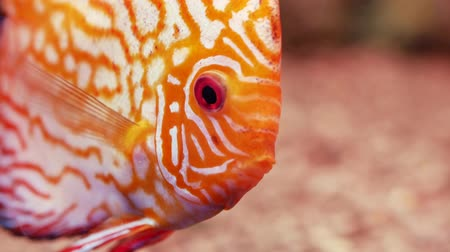 amazonka : Bright red discus also known as Symphysodon. Exotic tropical fish. Close up