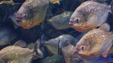 sharp teeth : The school of red-bellied piranha, also known as the red piranha (Pygocentrus nattereri)