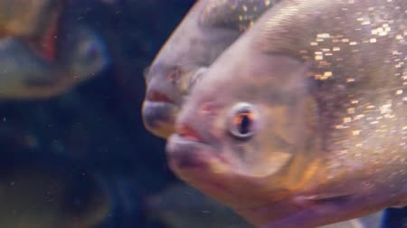 sharp teeth : Red-bellied piranha, also known as the red piranha close up (Pygocentrus nattereri) Stock Footage