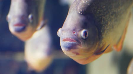sharp teeth : Close-up of red-bellied piranha, also known as the red piranha (Pygocentrus nattereri)