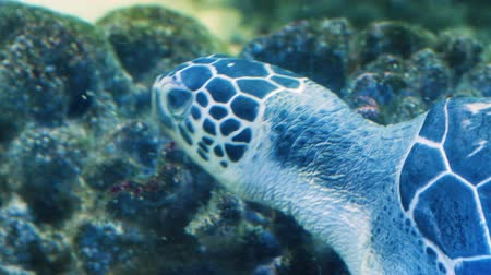korall : Close-up of blue sea turtle at the bottom of the aquarium looking for food