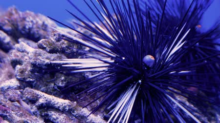 calcário : Black sea urchin (Diadema antillarum) also known as long-spined sea urchin underwater. Close up