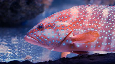 krewetki : Coral grouper (Cephalopholis miniata) looking at camera. Close up