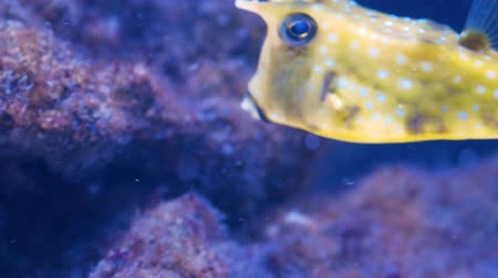 cow eats : Longhorn cowfish (Lactoria cornuta), also called horned boxfish eats corals and swims in aquarium water