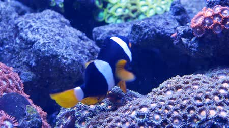 red sea anemonefish : Clownfish fish hiding in a gap between corals. Close up Stock Footage