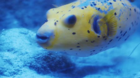 dwerg : Close-up van gele dogface kleuren pufferfish die in aquariumwater zwemmen (Arothron-nigropunctatus) 4k Stockvideo
