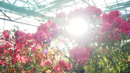 azalia : Sunny greenhouse with blooming flowers. Rhododendron