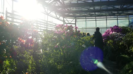 rhododendron : Visitors came to admire the sunny greenhouse with azalea and camellia flowers. Rhododendron Stock Footage