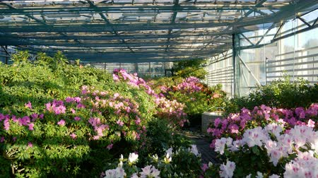 rhododendron : Incredibly beautiful sunny greenhouse. Rhododendron Stock Footage