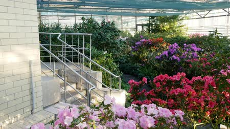 rhododendron : Sunny greenhouse with blooming azaleas. Rhododendron