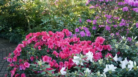 botanik : Bushes of pink and white azalea in the greenhouse. Rhododendron