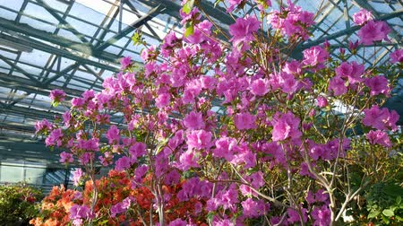 rhododendron : Blooming rhododendron flowers in the greenhouse. Rhododendron