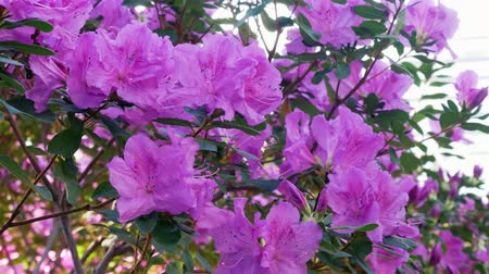 マゼンタ : A bush of pink azalea near the window. Rhododendron 動画素材