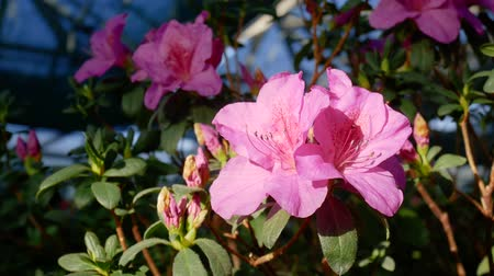 florescente : Buds of pink azaleas in blooming greenhouse. Rhododendron