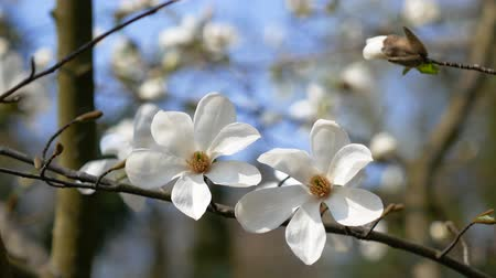веточки : White flowers on a magnolia tree. Early spring concept Стоковые видеозаписи