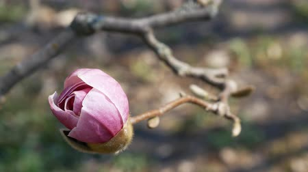 magnólie : Blooming bud of a pink magnolia. Early spring concept Dostupné videozáznamy