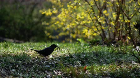 turdus merula : Little blackbird gets a worm from the ground. Bird feed