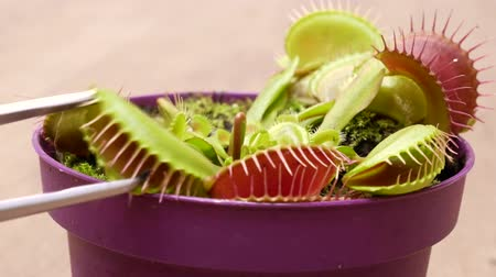 elfog : Biologist feeds venus flytrap (Dionaea muscipula) with tweezers