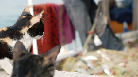 узел : Cats watching the fisherman who takes the fish catch from the nets. In the port of Bodrum, Turkey 4k