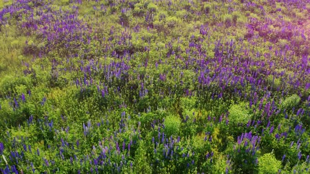 lupine : Flight over purple lupine in bloom at the sunrise landscape. Lupinus, commonly known as lupin or lupine. Aerial footage 4k