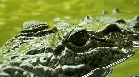 crocodilo : Crocodile eyes under the water close-up. Reptile predator waiting for its victim 4k