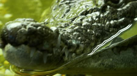 zuby : Crocodile close up. Panoramic move from jaws to head. Reptile predator waiting for its victim 4k