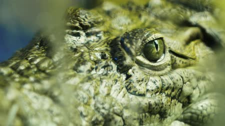 crocodilo : Close-up of a live alligator, crocodile or caiman in the water. Reptile behind the glass 4k