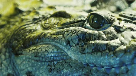 crocodilo : Close up view of the head and teeth of a crocodile, alligator, caiman. Reptile behind the glass 4k Vídeos