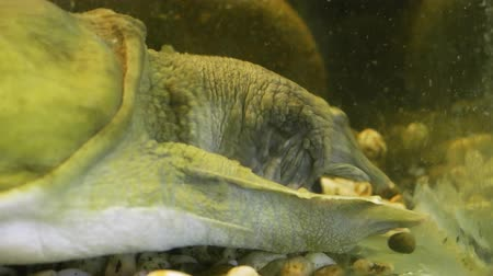 nílus : An old chinese softshell turtle trionyx eating in the zoo aquarium. Close up 4k