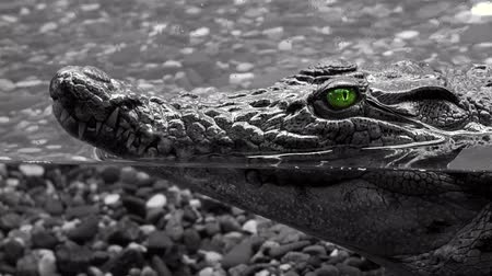 čelisti : Alligator under the water, head with green eyes sticking out above the water. Crocodile waiting for its victim 4k