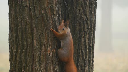 wiewiórka : Cute red squirrel hanging on a tree and watching into the camera. Close up 4k Wideo