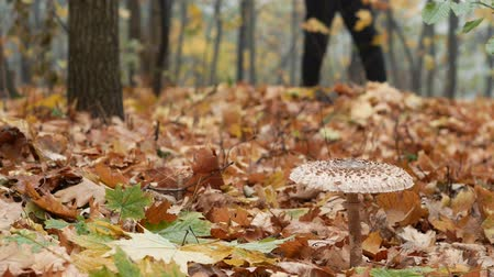 mycology : Mushroom picker man goes through the autumn forest in search of mushrooms. Macrolepiota procera, the parasol mushroom close-up 4k