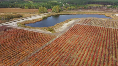 antioksidan : Blueberry farm in autumn. Drone flies up to an irrigation pond near the red bushes of blueberries. Aerial footage 4k