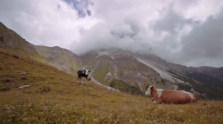kráva : Cows on the yellow meadow of the mountains of the Italian Alps