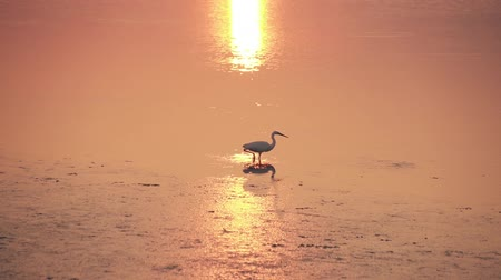 yem : An egret walks on the golden water of sunset Stok Video