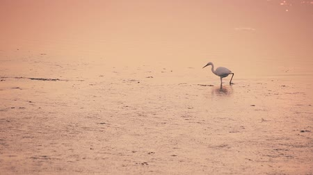 little egret : An egret walks on the water of the lagoon at sunset