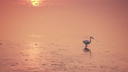 yem : Little Egret walks in the golden water at sunset Stok Video