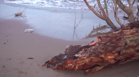 dead wood : A tree brought to the beach by a storm Stock Footage
