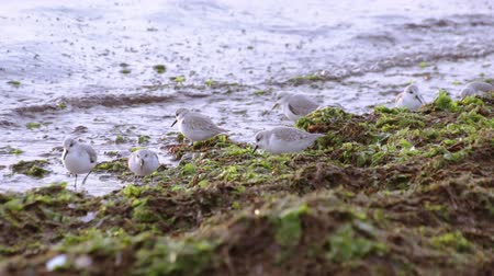 авес : Kentish plovers on the sea beach Стоковые видеозаписи