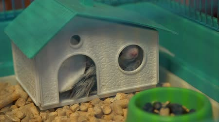 krysa : Hamster Sticking Nose Out His House