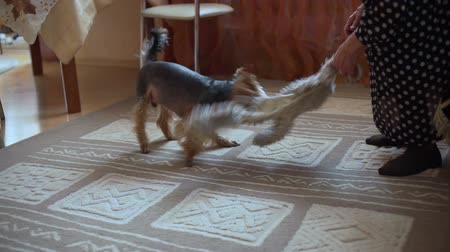 yorkie : Yorkshire Terrier Playing with its Mistress