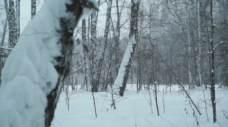 snow covered spruce : Snow Drifts in the Forest Stock Footage