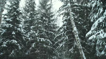 snow covered spruce : Snowfall in the Forest