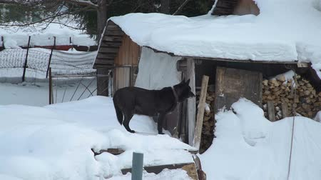 прикован : Dog is Standing on a Snow in Russian Village Стоковые видеозаписи